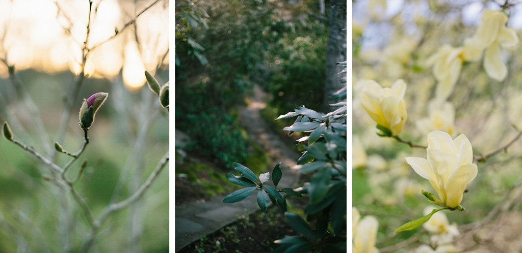 10_heidi_vail_photography_Arnold_arboretum_pale_yellow_magnolia_blossoms_sphor_garden_cape_cod