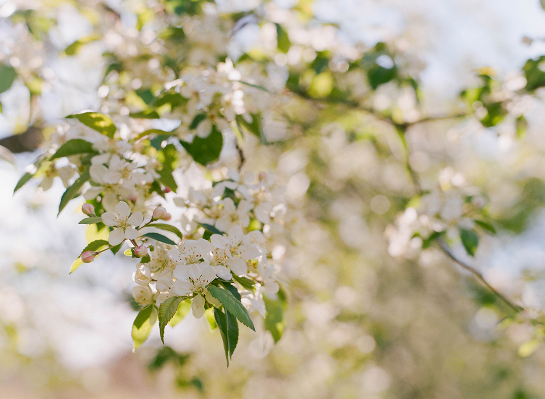 09_springtime_blossoms_arnold_arboretum_boston_garden_photography_crab_apple