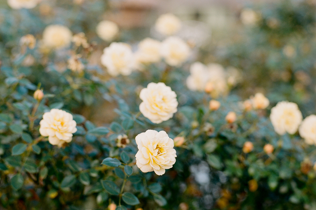 06_harry_p_leu_gardens_yellow_roses_Orlando_wedding_photographer_heidi_vail_central_florida